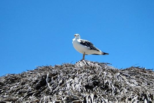 A seagull sits on a beach palapa.