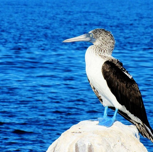 Blue footed booby in Loreto