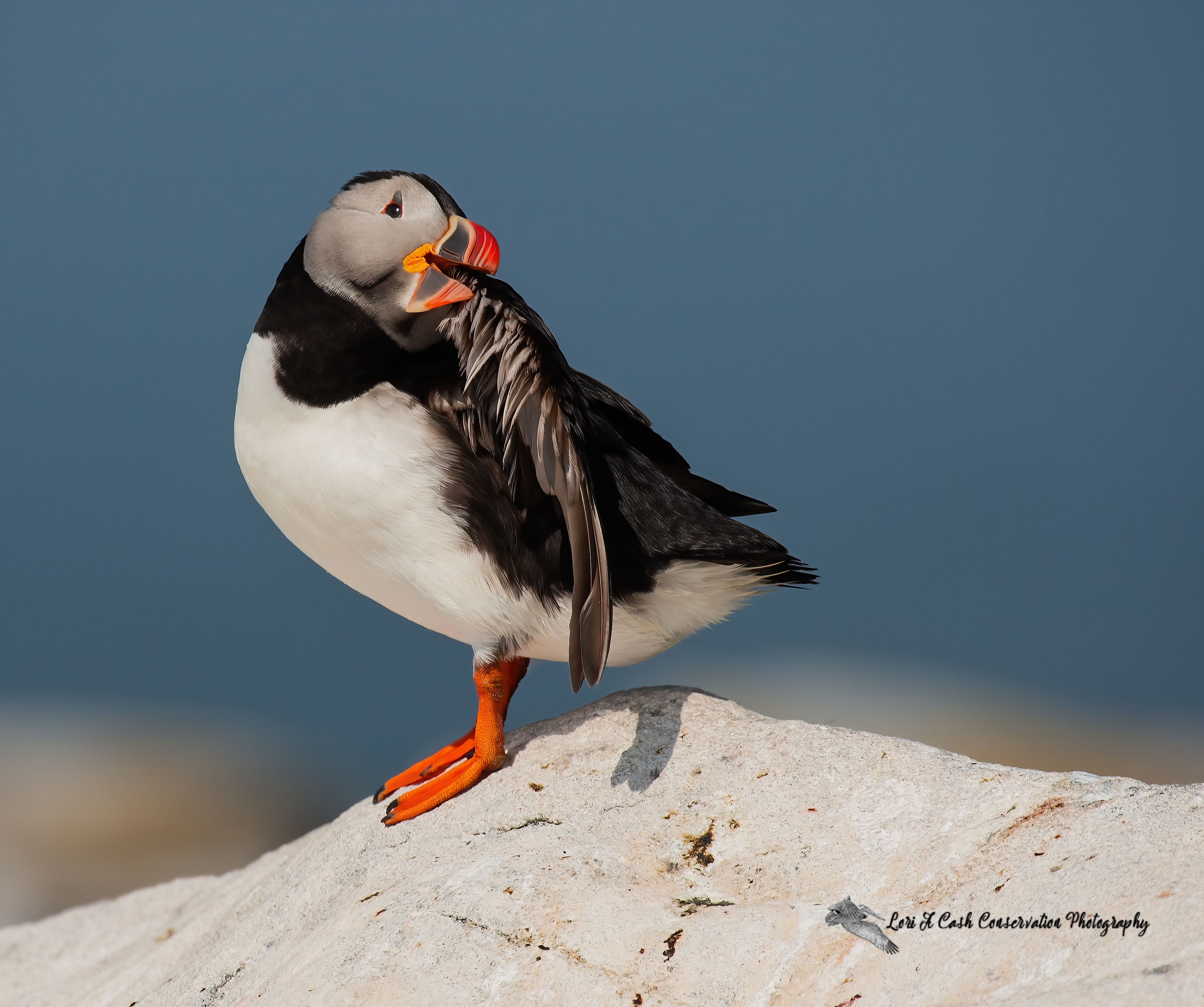 Atlantic puffin preening while standing on a rock at Machias Seal Island in Maine.