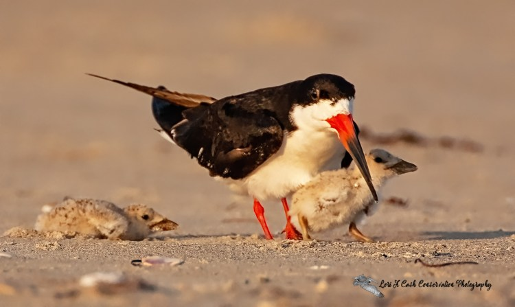 Black simmer with two chicks at its nesting colony on the beach at Pea Island National Wildlife Refuge on the Outer Banks of North Carolina.