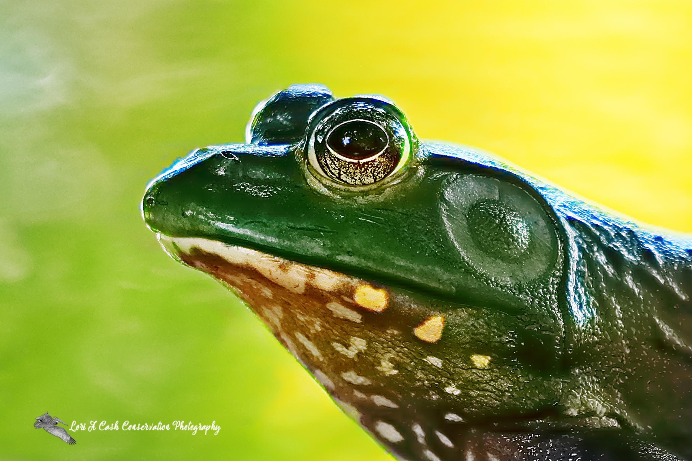 Up close side profile of an American bullfrog at the Norfolk Botanical Garden in Norfolk, Virginia.