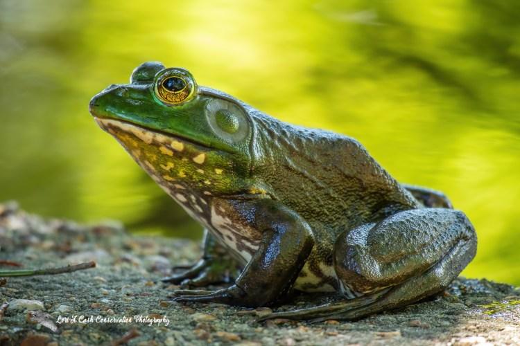 American bullfrog side body profile sitting outside of the pond on concrete side at Norfolk Botanical Garden in Norfolk, Virginia.
