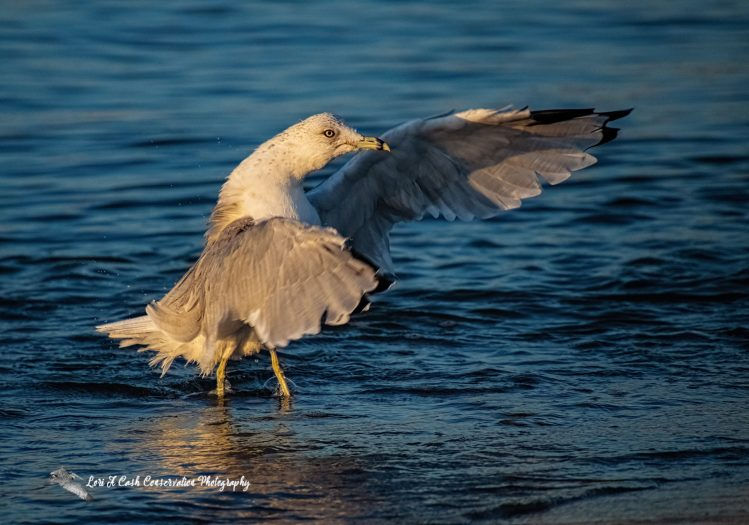 Ring-billed gull standing in the blue water flapping its wings at Buckroe Beach in Hampton, Virginia.