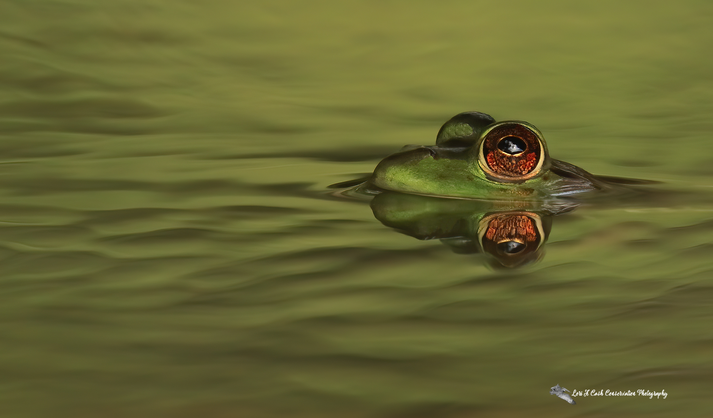 American bullfrog swimming in green water with eyes and head above the water in the pond at Norfolk Botanical Garden in Norfolk, Virginia.