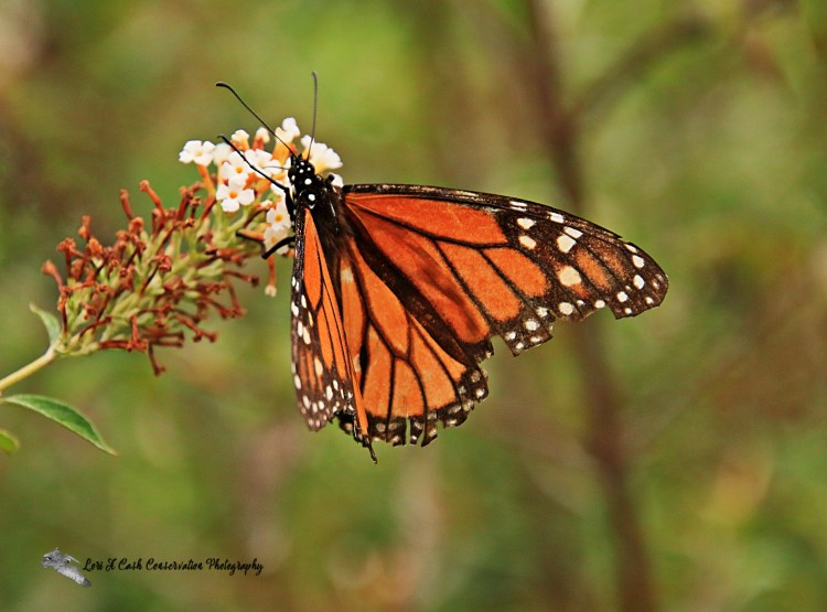 Monarch butterfly with orange and black markings resting on a flower at the Norfolk Botanical Garden in Norfolk, Viriniga.