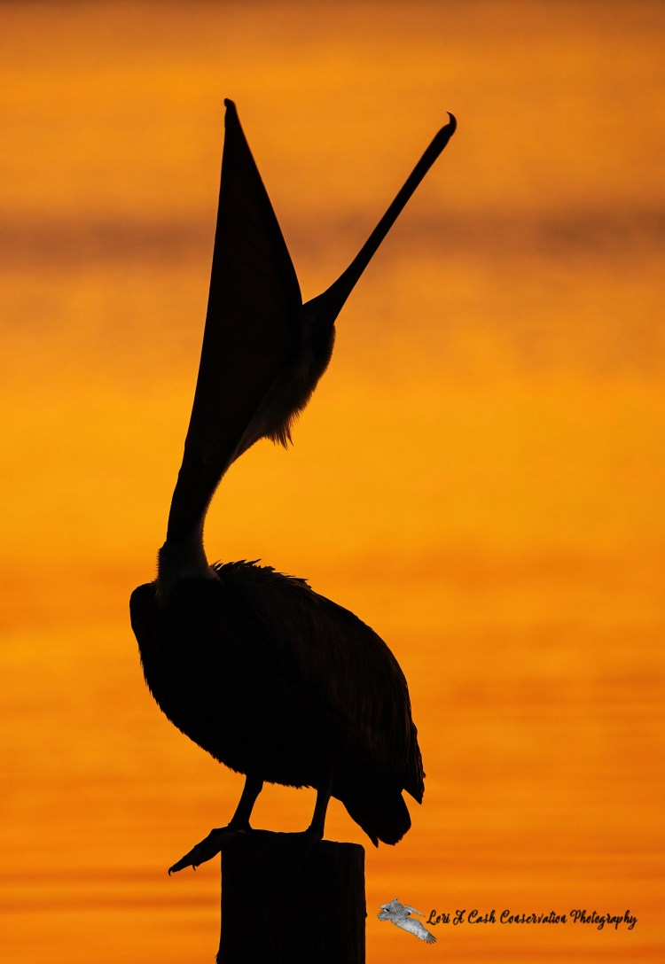 Silhouette of a brown pelican in head throw behavior by throwing head and bill into air during sunrise with a colorful background at Phoebus Waterfront Park in Hampton, Virginia.