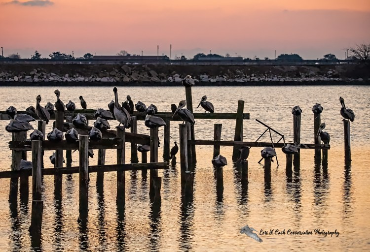 Group of brown pelicans roosting on the pilings as the sun rises in Mill Creek at the Phoebus Waterfront Park in Hampton, Virginia.