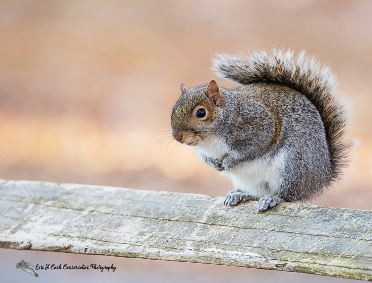 Eastern gray squirrel pauses while walking along a wooden fence at Sandy Bottom Nature Park in Hampton, Virginia.
