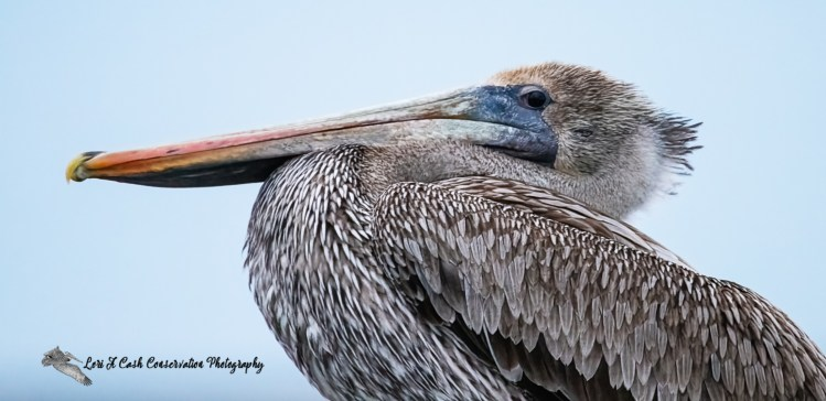 Immature brown pelican up close side profile as the pelican sat on a post in the water.