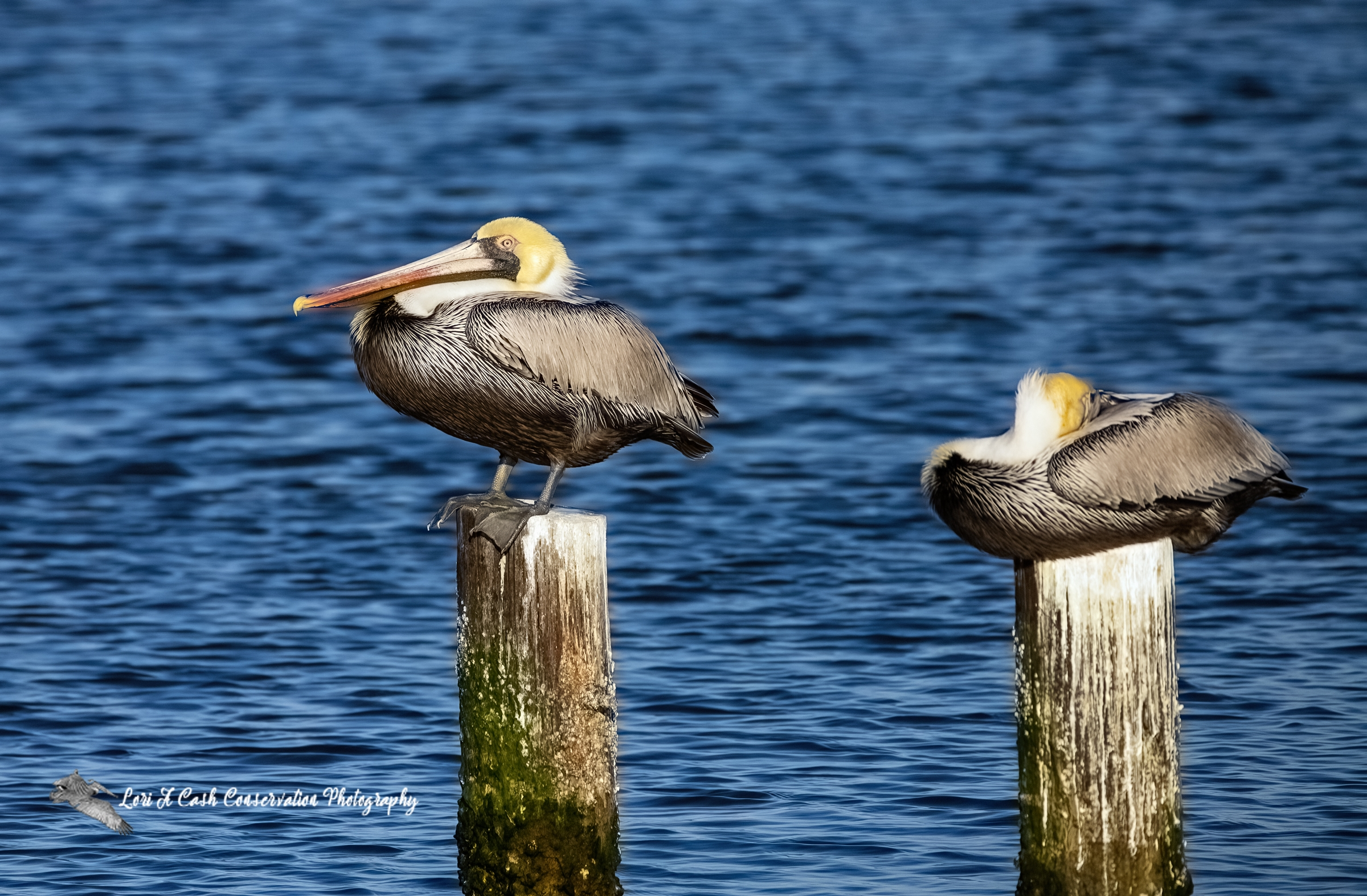 Two adult brown pelicans on posts for roosting as one pelican has head tucked in wings and the other is standing on the post in the late evening in Mill Creek at Phoebus Waterfront Park in Hampton, Virginia.