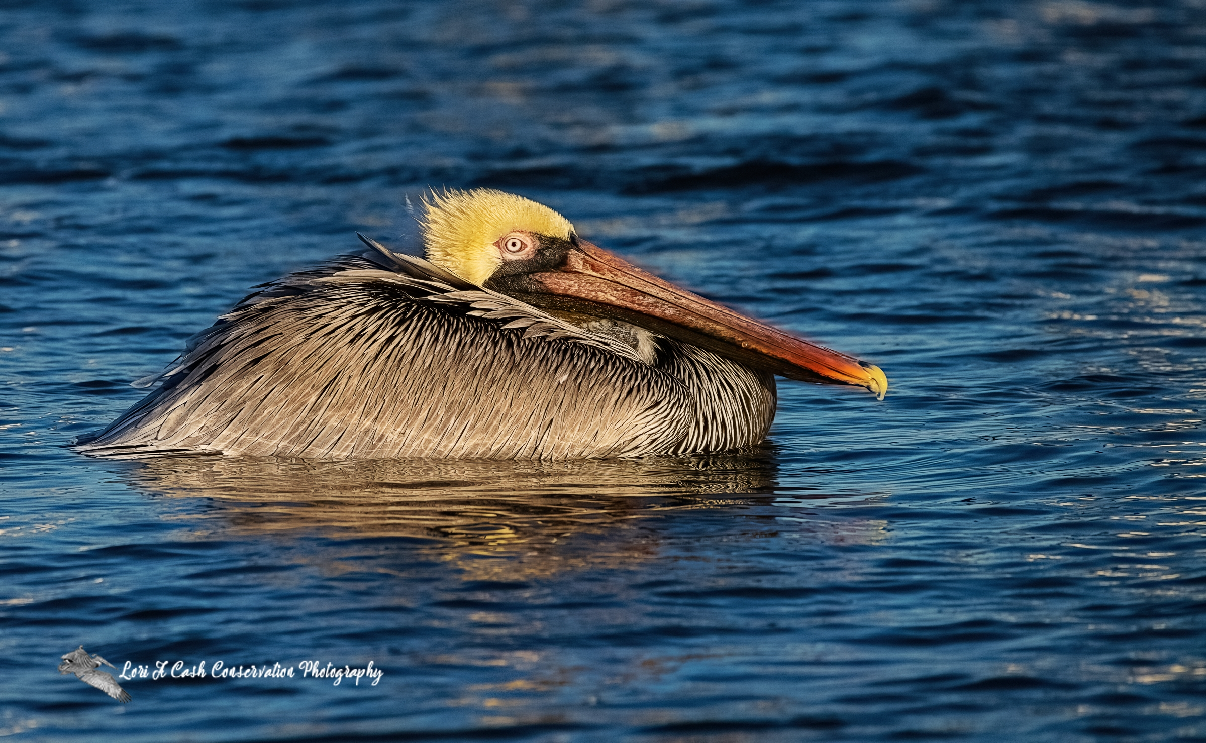 Adult brown pelican resting in the blue water at the roosting area of the pilings in Mill Creek at the Phoebus Waterfront Park in Hampton, Virginia.