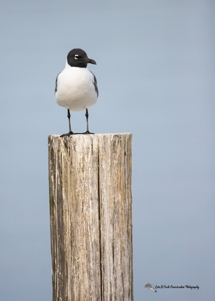 Laughing gull in breeding plumage standing on a post in Mill Creek at Phoebus Waterfront Park in Hampton, Virginia.