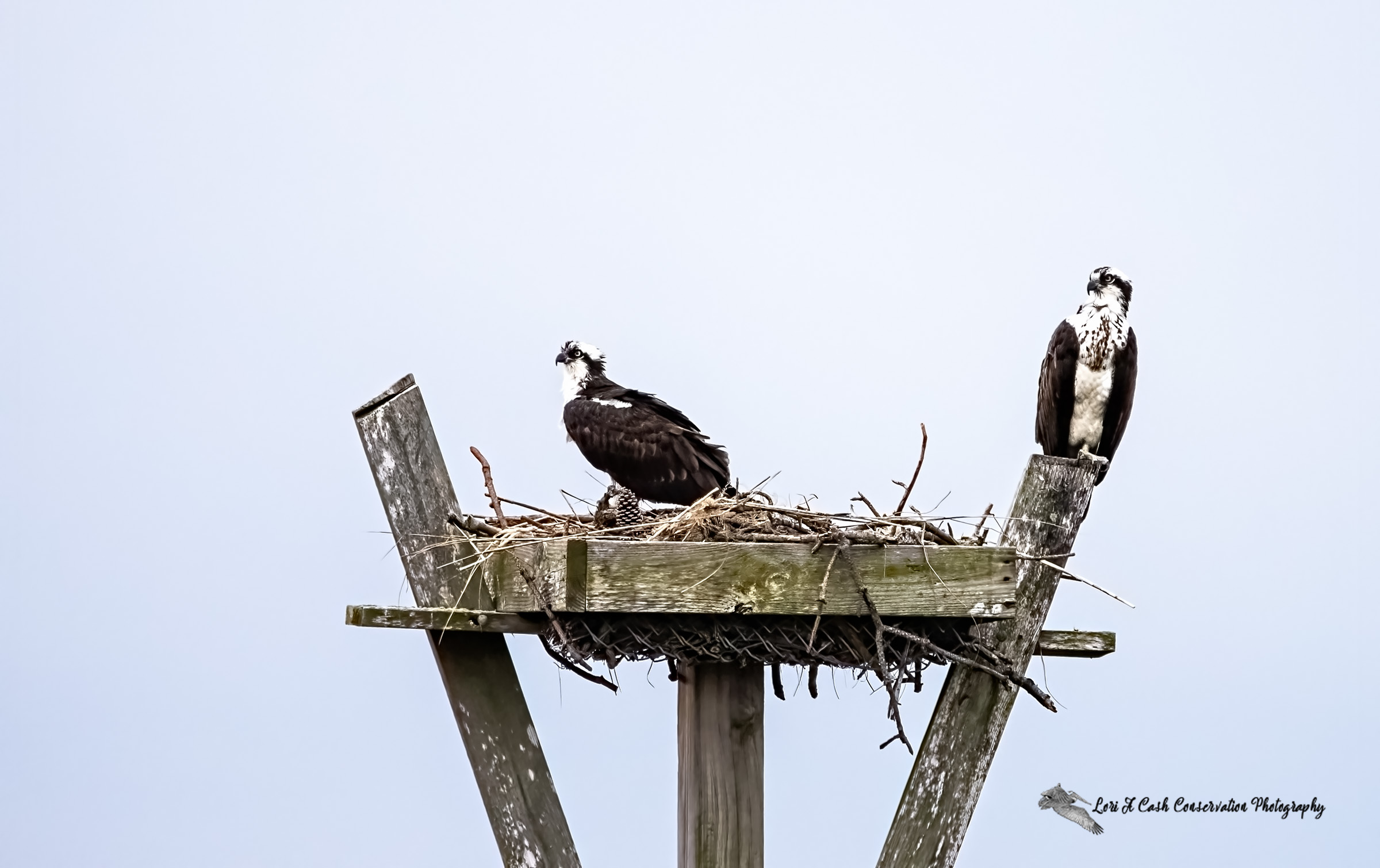 Pair of osprey resting on their nest platform along the edge of Hampton River at Fort Monroe National Park in Hampton, Virginia.