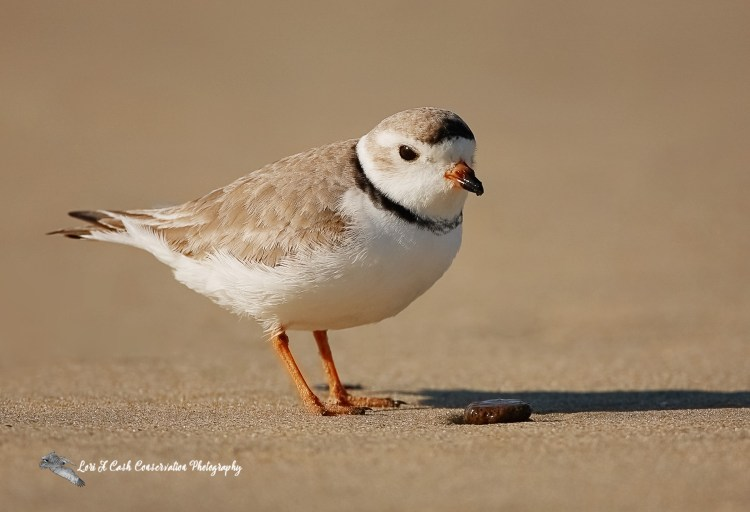 Piping plover on the beach at Nags Head on the Outer Banks of North Carolina.