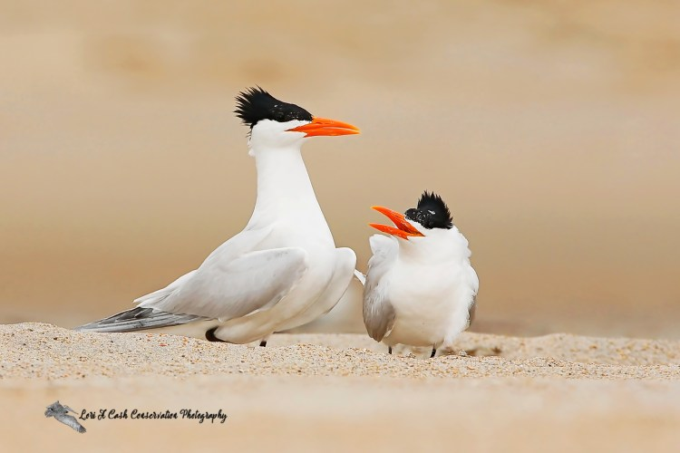 Pair of royal terns in courting display on the beach at Cape Point on the Cape Hatteras National Seashore on the Outer Banks of North Carolina.