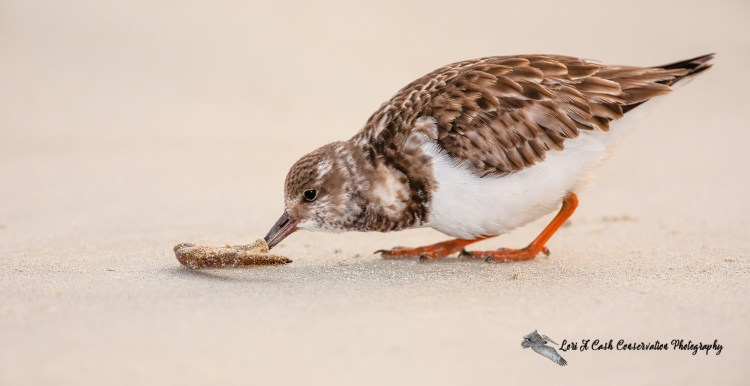 Ruddy turnstone in winter plumage on beach with a crab leg at Huntington Beach State Park in South Carolina.