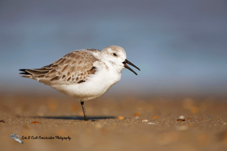 Sanderling yawning on beach at Nags Head on the Outer Banks of North Carolina.