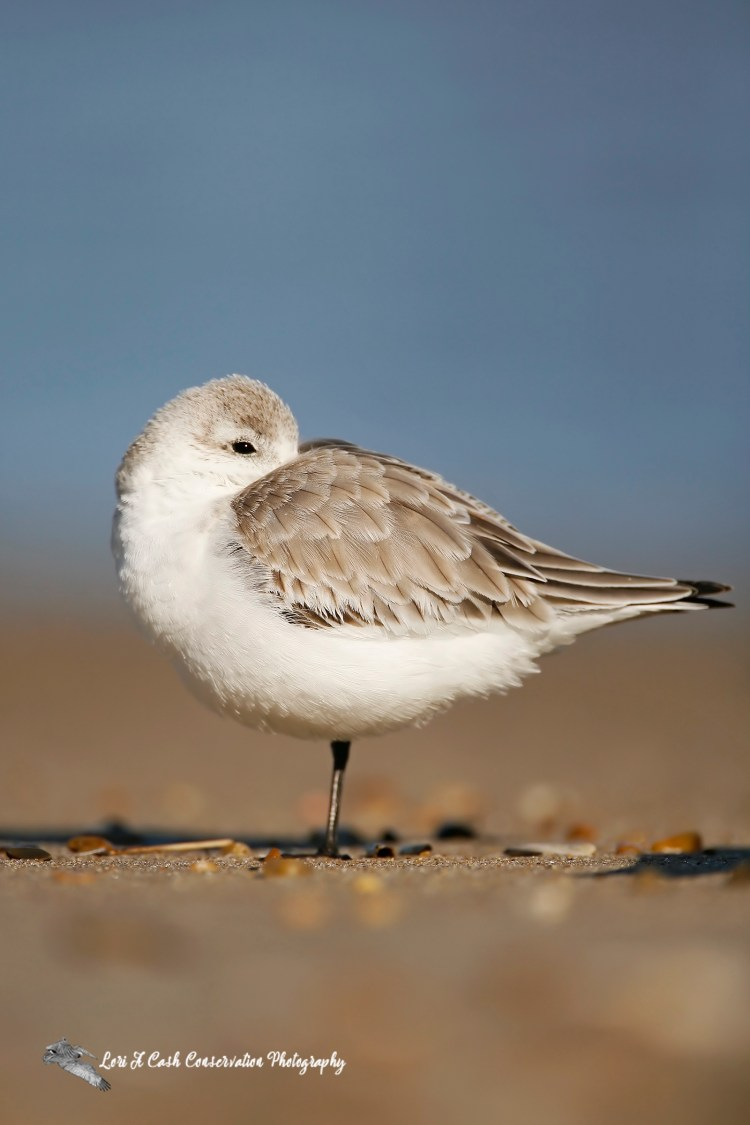 Sanderling in winter plumage resting on the beach at Nags Head on the Outer Banks of North Carolina.