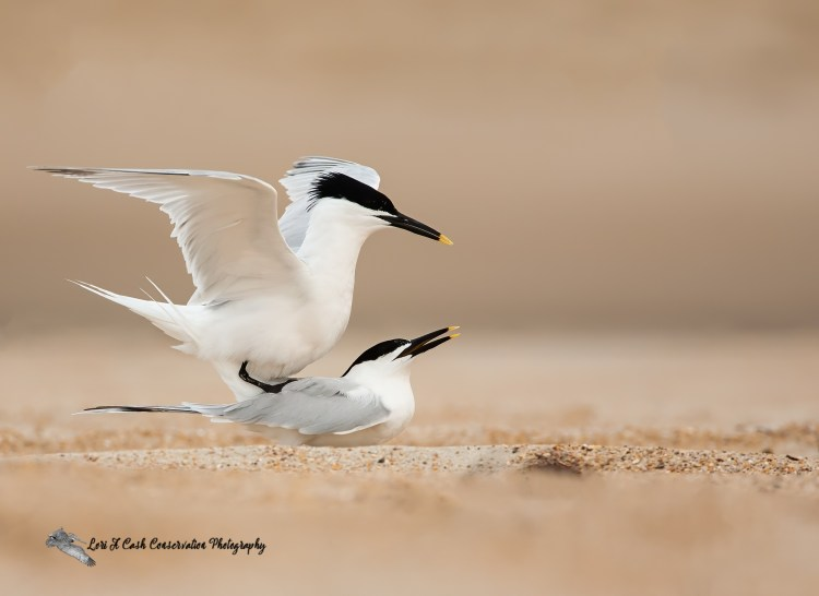 Pair of sandwich terns copulating on the beach at Cape Point on the Cape Hatteras National Seashore on the Outer Banks of North Carolina.