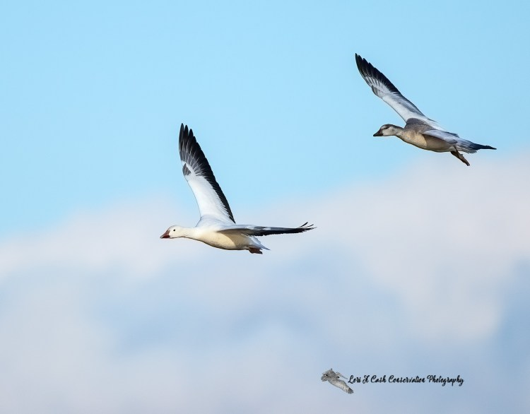 Pair of snow geese flying in the blue sky over Chincoteague National Wildlife Refuge on the Eastern Shore of Virginia.