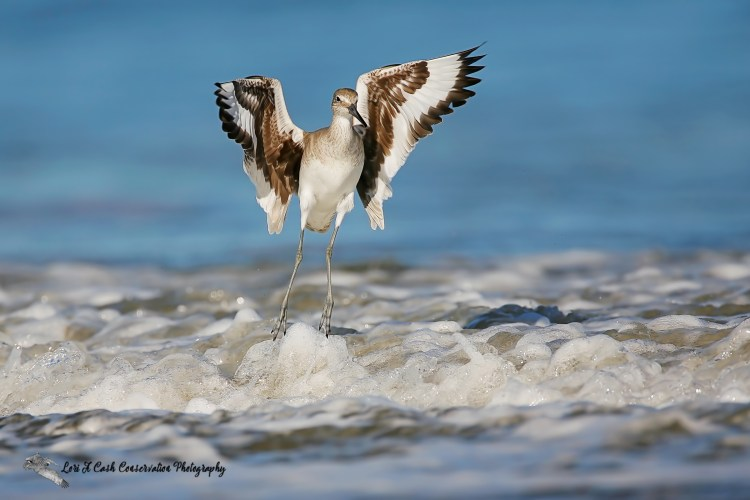 Willet landing in the surf at the beach in Nags Head on the Outer Banks of North Carolina.