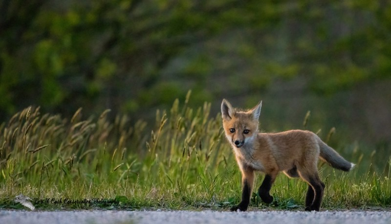 Red fox pup walking along the edge of the grass area near the den burrow as it is exploring the den area in Hampton, Virginia.