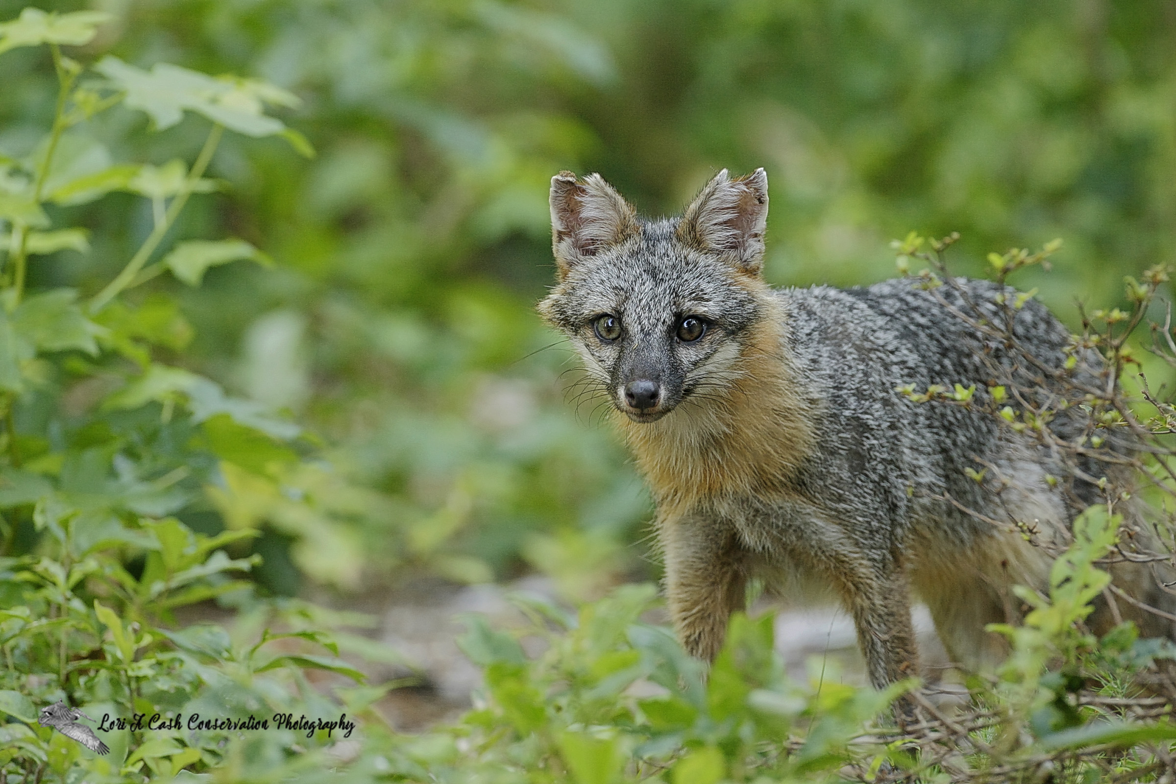 Gray fox (Urocyon cinereoargenteus) standing at the edge of the woods at Point Harbor in Currituck County, North Carolina.