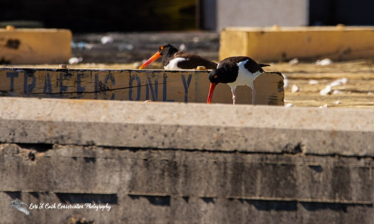 Pair of American oystercatchers (Haematopus palliatus) nesting site on old marine pier where they are feeding one chick oysters at Fort Monroe in Hampton, Virginia.