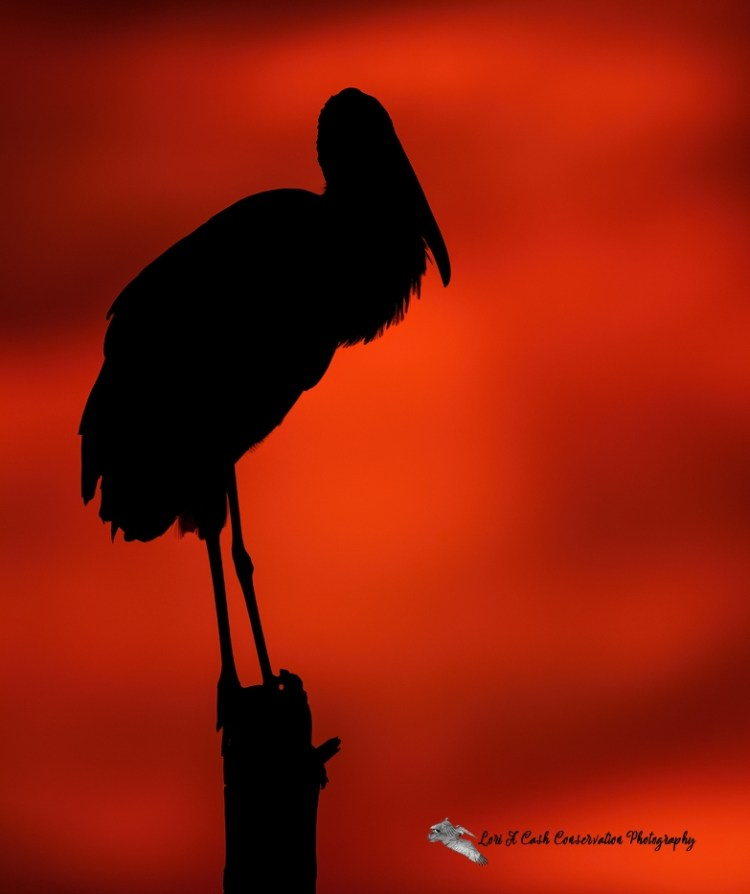 Silhouette of wood stork standing on top of dead tree with a colorful red sky as the background at Viera Wetlands in Florida.