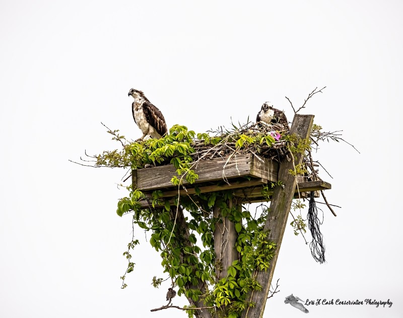 Osprey (Pandion haliaetus) pair sitting in nest while a sparrow sits underneath on the green foliage as the sparrow has a nest underneath the nesting platform top at Fort Monroe National Monument in Hampton, Virginia.
