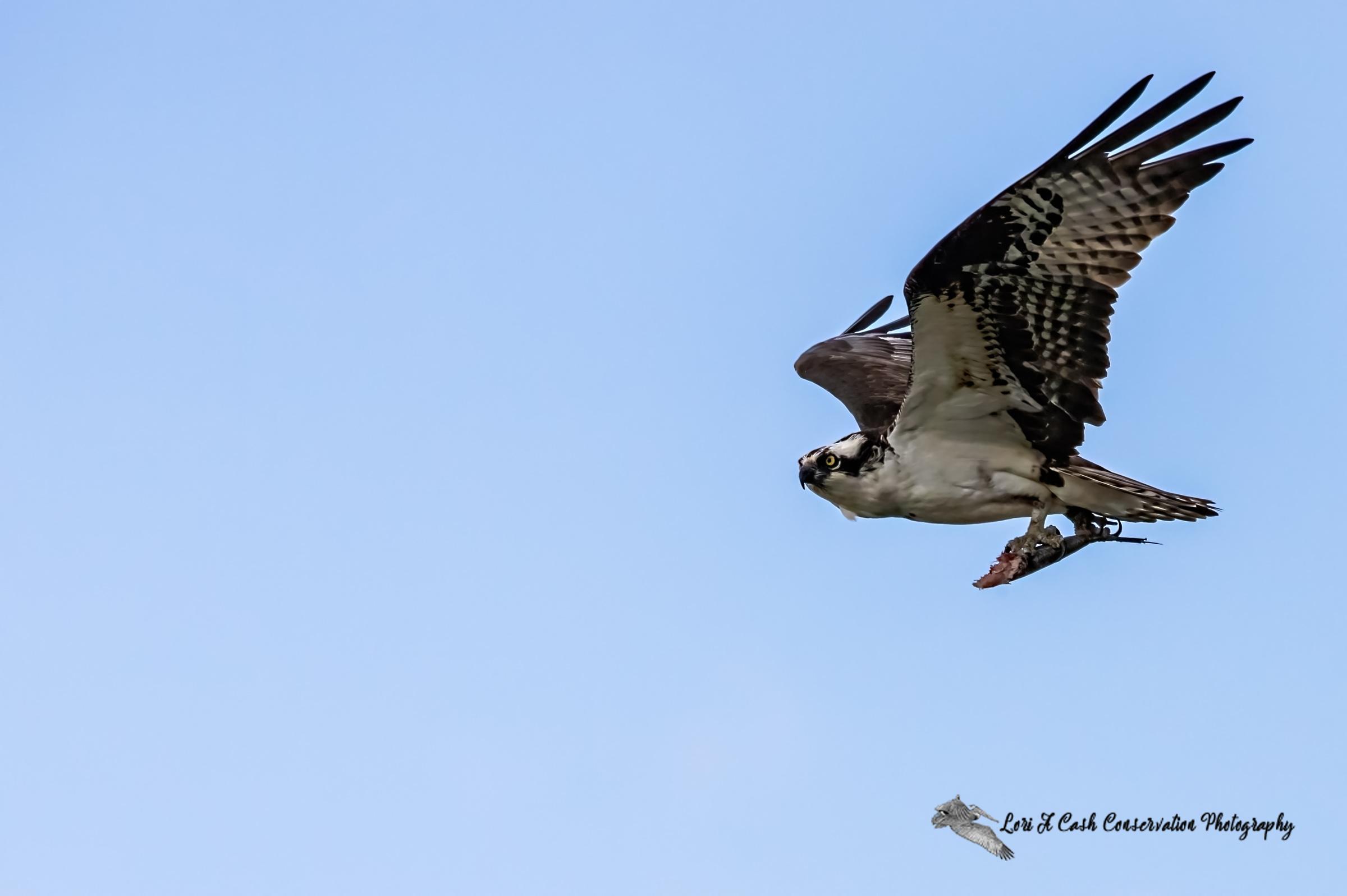 A male osprey (Pandion haliaetus) in flight with half eaten fish at Fort Monroe in Hampton, Virginia.