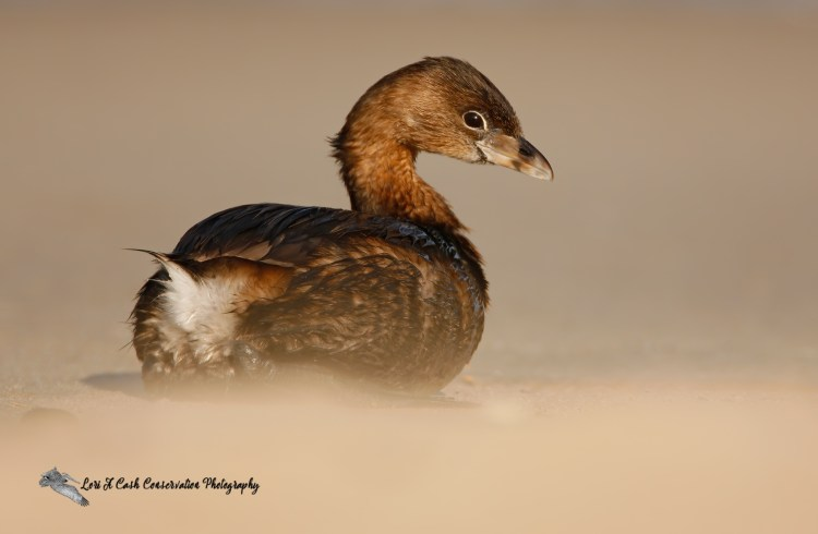 Pied-billed grebe sitting on beach on a spring afternoon from a very low perspective at Nags Head on the Outer Banks of North Carolina.