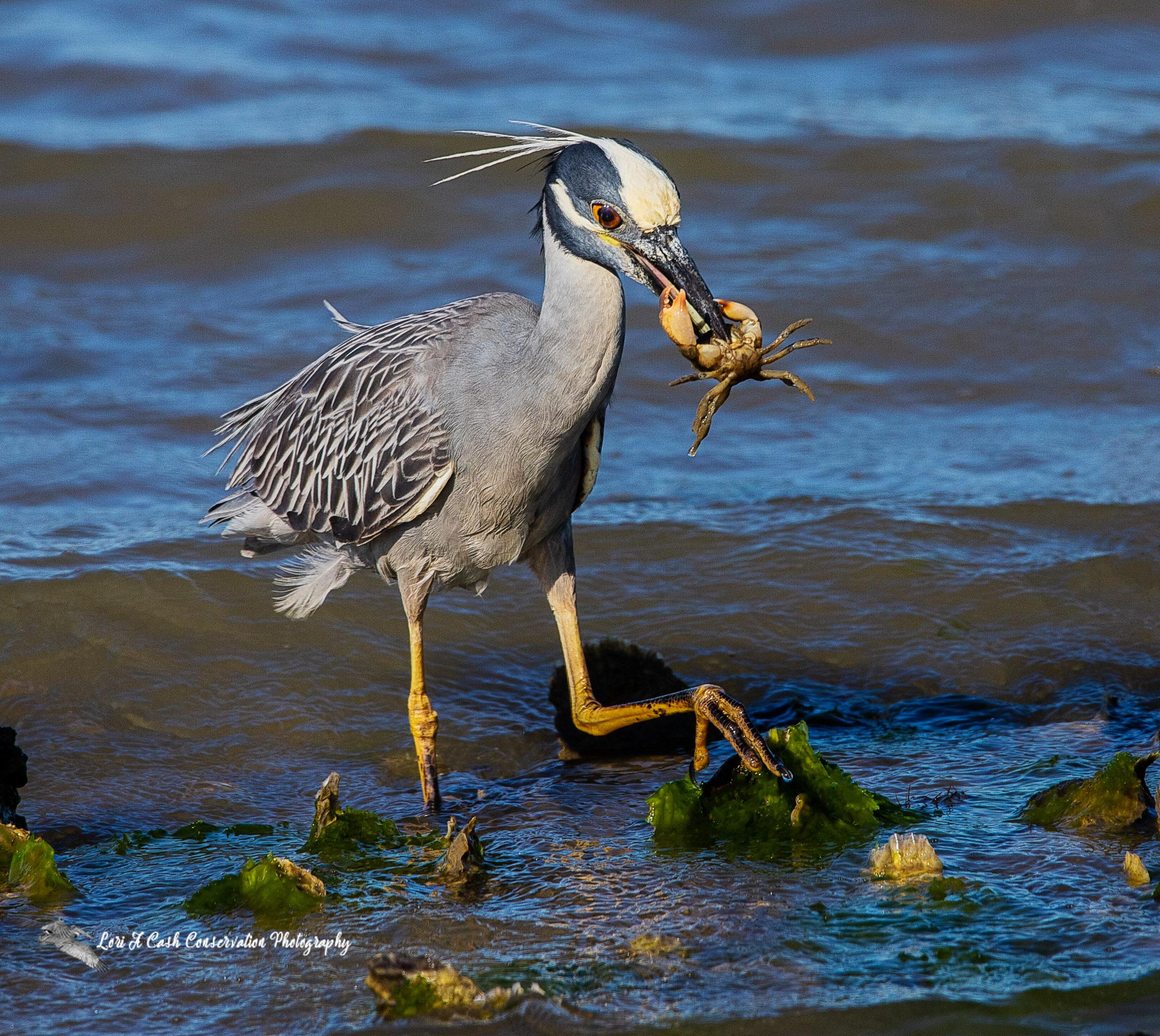 Yellow=crowned night heron walking with crab in Mill Creek at Fort Monroe in Hampton, Virginia.