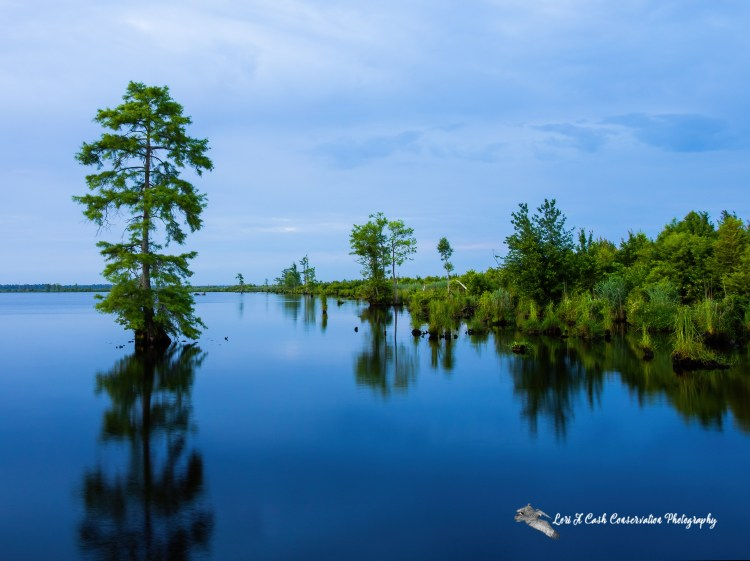 Serene Lake Drummond morning during the Summer Solstice at the Great Dismal Swamp National Wildlife Refuge in Suffolk, Virginia.
