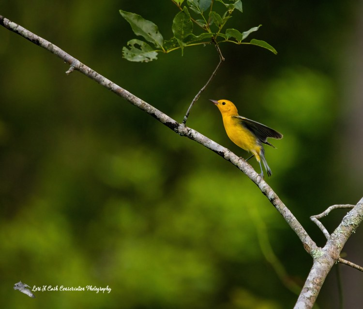 Prothonotary Warbler (Protonotaria citrea) landing in a tree on the last day of spring along the wildlife drive at Lake Drummond in Suffolk, Virginia.