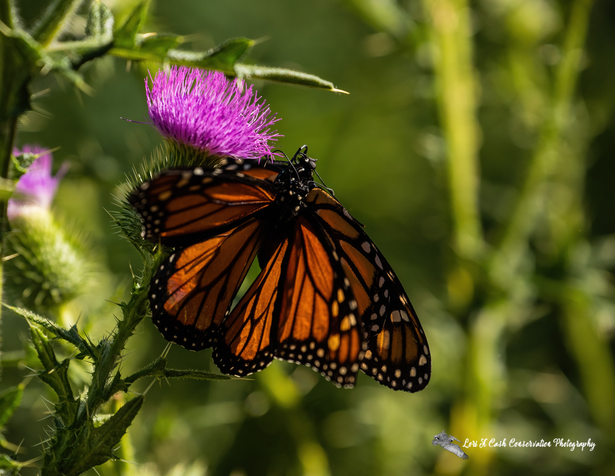 A pair of monarch butterflies (Danaus plexippus) mating on thistle bloom needs protecting from loss of habitat.