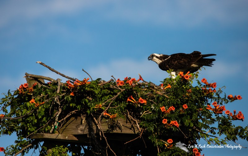 Osprey sitting on nest covered in red trumpet vine flowers at Fort Monroe in Hampton, Virginia.