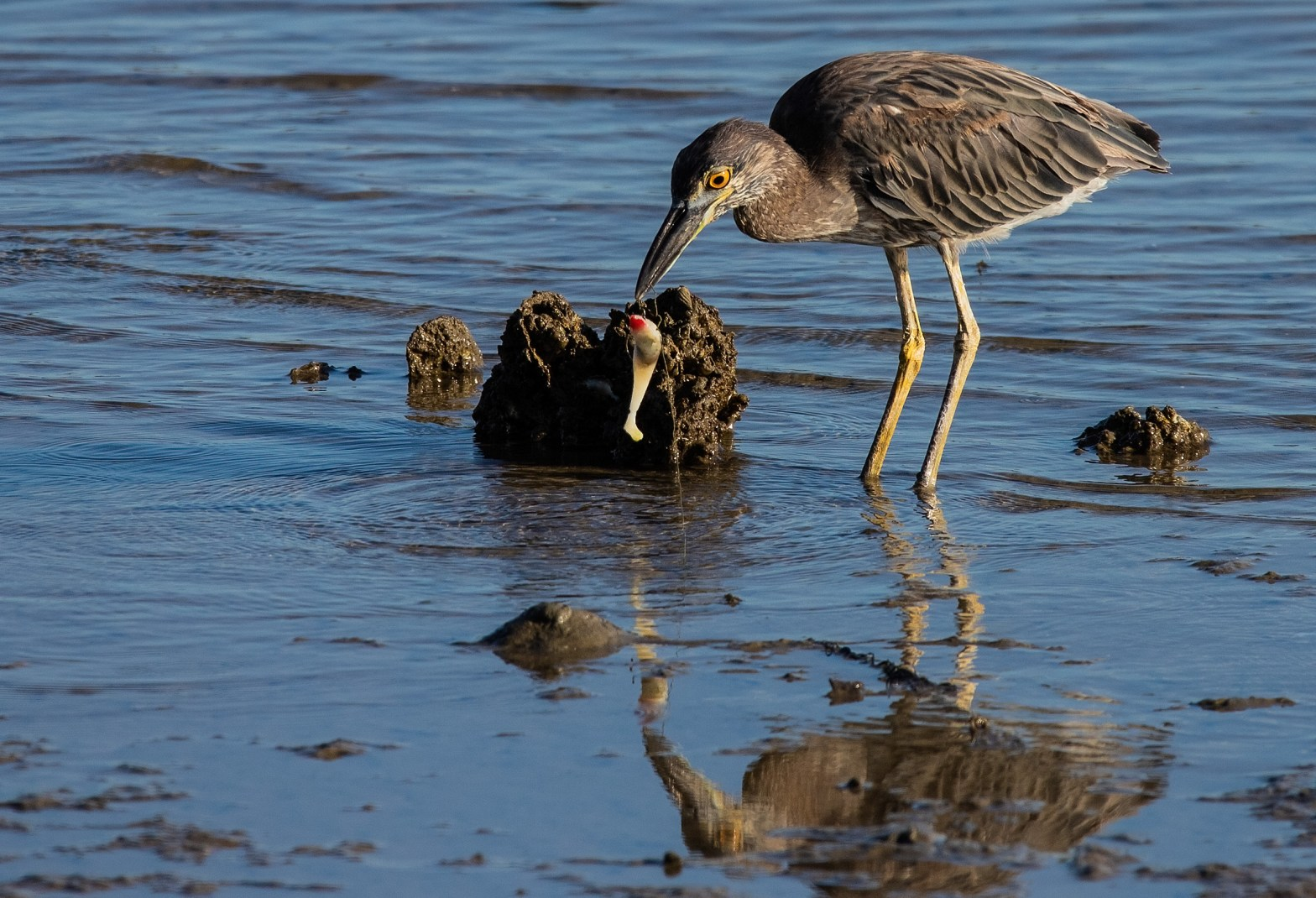 Juvenile yellow-crowned night heron(Nyctanassa violacea) with fishing lure dangling from its mouth during the low tide along the shore of Mill Creek at Fort Monroe in Hampton, Virginia.
