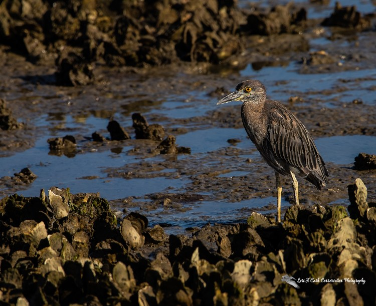Juvenile yellow-crowned night heron (Nyctanassa violacea) unharmed by encounter with fishing line and lure in mouth during low tide along the shore of Mill Creek at Fort Monroe in Hampton, Virginia.