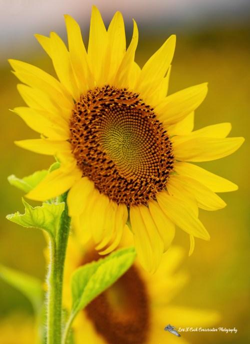 Sunflower in a sunflower field up close on a summer evening in Crittenden County, Arkansas.