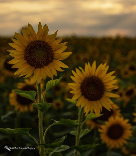 Sunflowers in backlighting on a summer evening in Crittenden County, Arkansas.