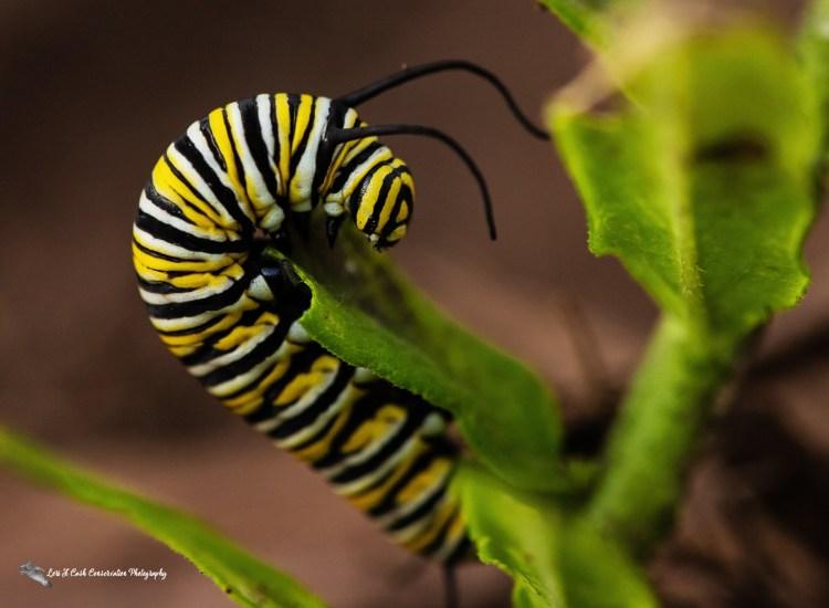 Monarch caterpillar crawling on milkweed plant leaf on a summer evening in Hampton, Virginia.