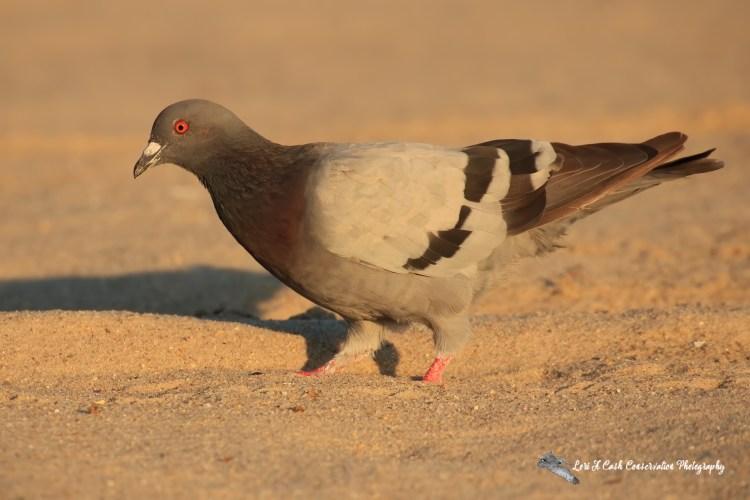 Rock Pigeon (Columba livia) on beach at Buckroe Beach in Hampton, Virginia.