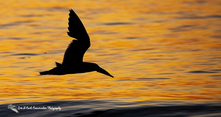 Silhouette of a black skimmer (Rynchops niger) in flight over the water during sunrise at Buckroe Beach in Hampton, Virginia.