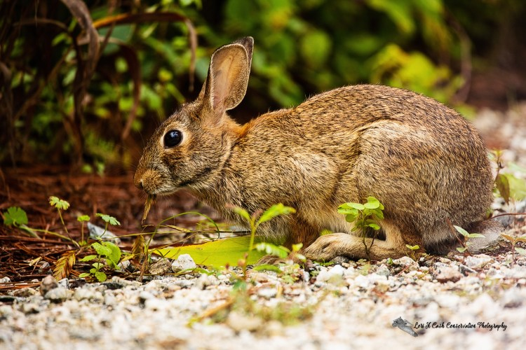 Eastern cottontail rabbit (Sylvilagus floridanus) eating grass along a pathway at Williamsburg Botanical Garden located in Freedom Park in Williamsburg, Virginia.