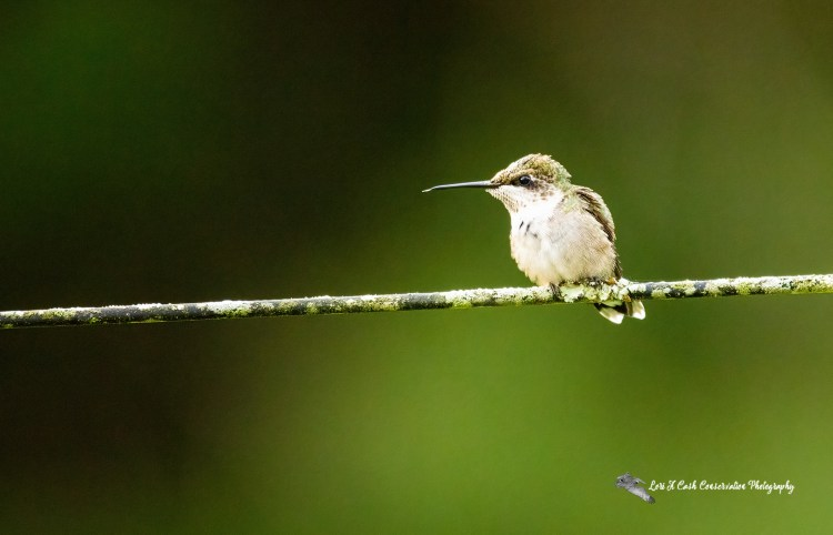 Ruby-throated hummingbird (Archilochus colubris) resting on wired fence after drinking nectar from nearby flowers at Williamsburg Botanical Garden located in Freedom Park in Williamsburg, Virginia.