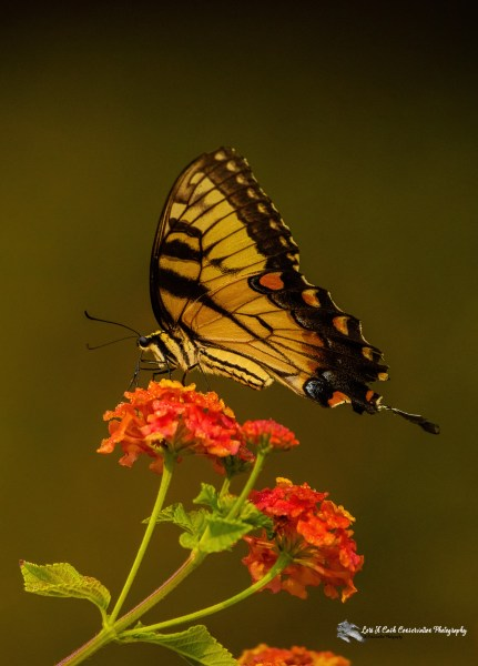 Eastern tiger swallowtail butterfly (Papilio glaucus) feeding on lantana on a late summer monring at the Williamsburg Botanical Garden located in Freedom Park in Williamsburg, Virginia.