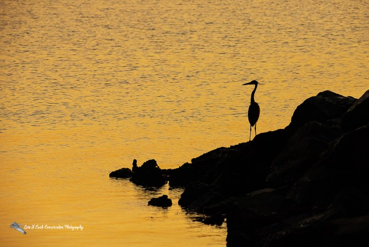 Great blue heron (Ardea herodias) standing on the jetty rocks during sunrise on a late summer morning at the beach in Yorktown, Virginia.