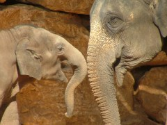 asian_elephant_and_baby