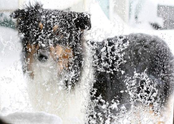 Australian Shepard in snow